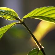 folhas-da-chacrona