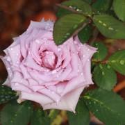 rosa-1500x753